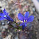 tiny blue petals by Jennifer  Gaillard