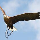 Eagle flying 1 by Lizzylocket