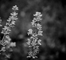 Aged Lavender by Paul Rees-Jones