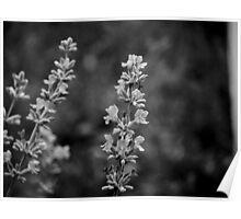 Aged Lavender Poster