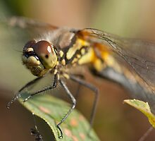 Black darter female by Jon Lees