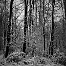 Winter Woods by Phil Campus