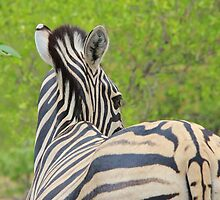 Zebra Colors - Patterns in Nature by LivingWild