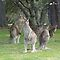 Kangaroo Mob watching with suspicion by apotek