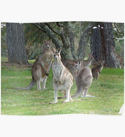 Kangaroo Mob watching with suspicion Poster