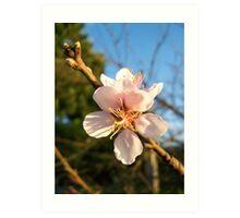 Peach flower in afternoon light. Art Print