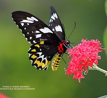 Cairns birdwing (female) by robmac