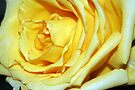 Yellow Rose of Florida by RebeccaBlackman