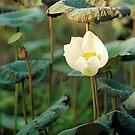 Morning Lotus by RobAllsop