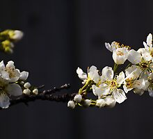 White blossom by Leanne Nelson