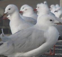 Seagull Corroboree by GemmaWiseman
