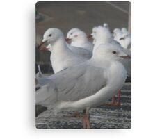 Seagull Corroboree Canvas Print