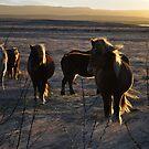 icelandic horses by gary roberts