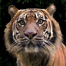 Eyes of the tiger by Stacey Pritchard