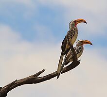 Yellow Billed Hornbill - Beak of Format by LivingWild