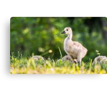 Baby Duckling in the Morning Light Canvas Print