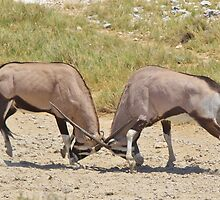 Gemsbok Dominance - Fighting for Rights by LivingWild