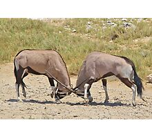 Gemsbok Dominance - Fighting for Rights Photographic Print