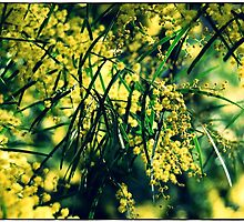 wattle, nearly spring by melindaonleave