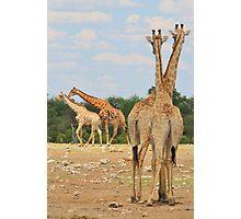 Giraffe - Jealousy and Funny Love Photographic Print