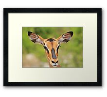 Black Faced Impala - Portrait of Pure Framed Print