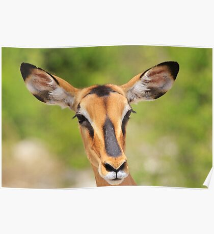 Black Faced Impala - Portrait of Pure Poster