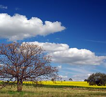 SPRING CANOLA AND TREE by Helen Akerstrom Photography