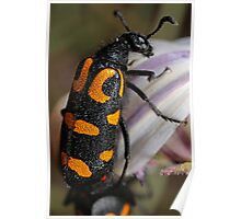 Yellow Blister Beetle Poster