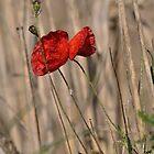 Poppy In Field by Paul  Eden