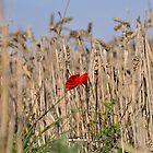 Poppy In Field #2 by Paul  Eden