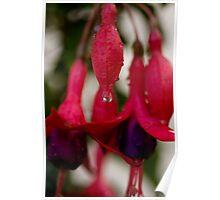 Fusia Rain Drop Poster