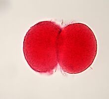 Egg cell under the microscope. by Zosimus