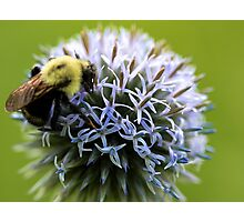 Bumble Bee - Globe Thistle Photographic Print