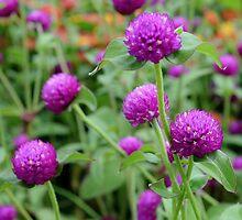 Purple Globe Amaranth by Scott Mitchell