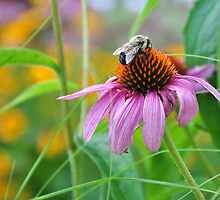 Bee on coneflower by mltrue