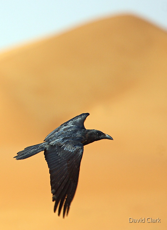 Brown-Necked Raven with Dune by David Clark