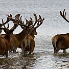Stags by Michael Hadfield