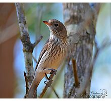 Rufous Whistler Photographic Print