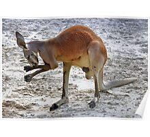 Boxing Kangaroo Poster