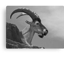Ram Tough Canvas Print
