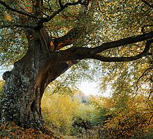 Belvoir Forest Tree, October '09 by Gerard1972