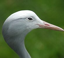 Profile Of A Blue Crane - (Anthropoides paradiseus) by Robert Taylor