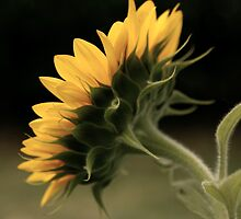 Behind the scenes of a Sunflower by Jenna Ebert Photography