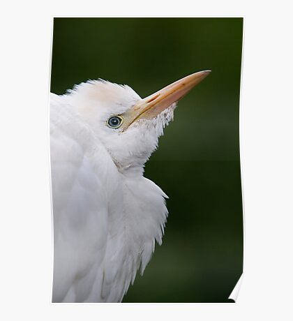 Close Up Of A Cattle Egret - (Bubulcus ibis) Poster