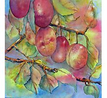 Pick Your Own Plums Photographic Print