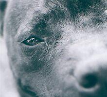 Delta - Staffordshire Bull Terrier by Sophia Phoenix