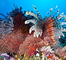 Lionfish by David Wachenfeld