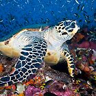 Hawksbill turtle by David Wachenfeld