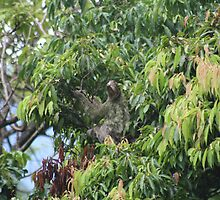 Three Toed Sloth by Ilene Clayton