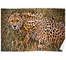 Cheetah in the Grass Poster